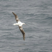 Southern Royal Albatross Kaikoura South Island New Zealand