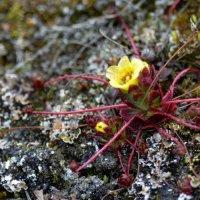 Spider Saxifrage - Faksevagen, Spitsbergen
