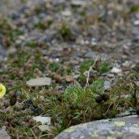 Svalbard Poppy - Longyearbyen, Spitsbergen (1/2)