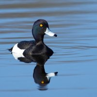 Tufted Duck RSPB Ham Wall Somerset 21st March 2016