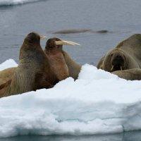 Walrus - Moffen Island, Spitsbergen