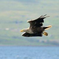 White tailed Eagle 3 Mull 03 07 2015