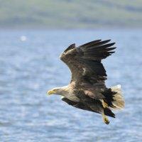 White tailed Eagle 4 Mull 03 07 2015