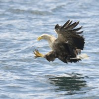 White tailed Eagle 5 Mull 03 07 2015