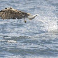 White tailed Eagle 6 Mull 03 07 2015