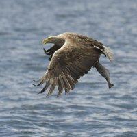 White tailed Eagle 7 Mull 03 07 2015