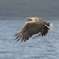 White tailed Eagle 8 Mull 03 07 2015