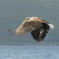 White tailed Eagle 9 Mull 03 07 2015