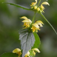 Yellow Archangel Yockletts Bank 11 06 2015