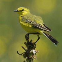 Yellow Wagtail Elmney Marshes 11 06 2015