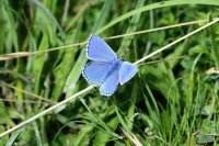 Adonis Blue Cotley Hill (1/2)