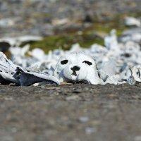 Beluga Bones - Ahlstrandhalvoya, Spitsbergen  (1/2)
