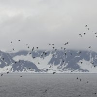 Little Auks - Fugelsangen, Spitsbergen