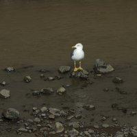 Yellow-Legged Gull - Madeira (2/3)