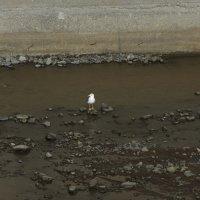 Yellow-Legged Gull - Madeira (1/2)