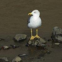 Yellow-Legged Gull - Madeira (3/3)