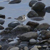 Sanderling - Madeira (1/2)