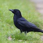 Carrion Crow Radipole Weymouth Dorset