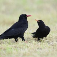 Chough, adult and begging juvenile (1/3)