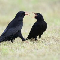 Chough adult and begging juvenile (2/3)