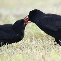 Chough adult feeding juvenile (1/2)