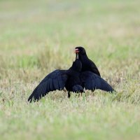 Chough, adult and begging juvenile (3/3)