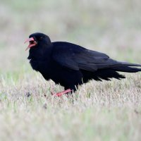 Chough, adult with ?leathjerjacket