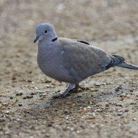 Collared Dove Wells Norfolk 08 11 2014