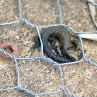 Common lizard - Bystock Pools, Devon, England  29 07 2015