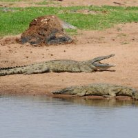Crocodile - Ruaha National Park, Tanzania