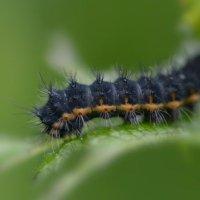 Emperor moth caterpillar - Cotley Hill 09 06 2015