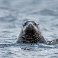 Grey Seal  Blakeney Norfolk 12 11 2014 (1/6)