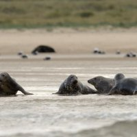 Grey Seal  Blakeney Norfolk 12 11 2014 (4/6)