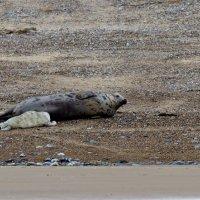 Grey Seal  Blakeney Norfolk 12 11 2014 (5/6)