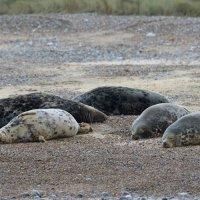 Grey Seal  Blakeney Norfolk 12 11 2014 (6/6)