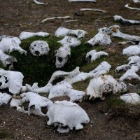 Walrus Bones - Kapp Lee, Edgeoya  (2/2)