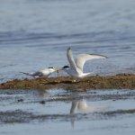 Little Tern Titchwell Norfolk (2/3)