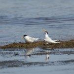 Little Tern Titchwell Norfolk (3/3)