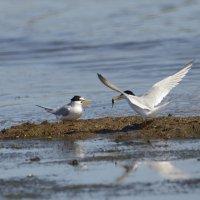 Little Tern Titchwell Norfolk (1/3)