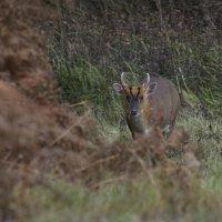 Muntjak Deer Wells pine woods Norfolk 08 11 2014