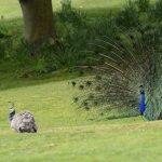 Peacock Brownsea Island