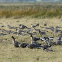 Pink-footed Geese Holkham Norfolk 08 11 2014 (1/2)