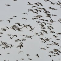 Pink-footed Geese Holkham Norfolk 08 11 2014 (2/2)