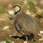 Red-legged Partridge Choseley Norfolk