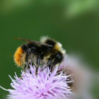 Red tailed bumble bee - 29 07 2015