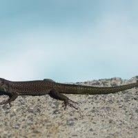 Madeiran Wall Lizard (2/2)