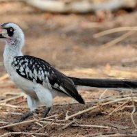 Ruaha Red-billed Hornbil - Ruaha National Park, Tanzania