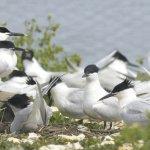 Sandwich Tern  Brownsea Island (3/3)