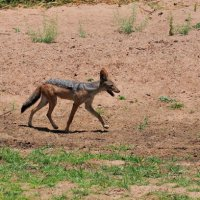 Silver-backed Jackal - Ruaha National Park, Tanzania