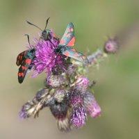Six spot burnet moth -  Bystock Pools, Devon, England 29 07 2015